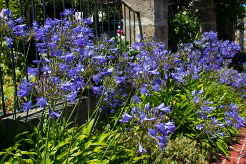 Planting Agapanthus - step by step