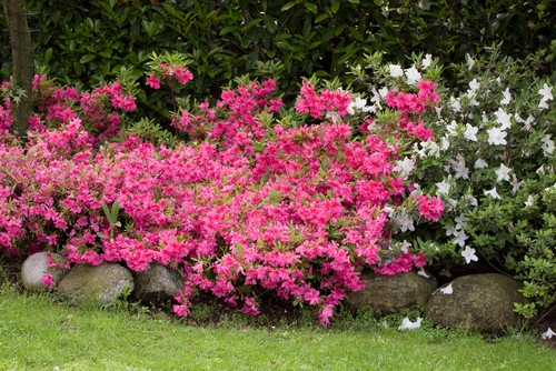 Azalea japonica ideal for growing in pots. This small shrub gives bushy growth combined with stunning flowers the colours for which range from purples and whites to pinks and reds. At its maturity, the shrub will reach between 100cm and 200cm in height but there are many dwarf varieties ideal for pots and containers.