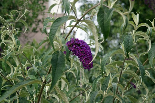 This beauty is referred to as a butterfly bush and is a deciduous shrub that not only produces deep purple flowers in clusters but it is heavily fragrant and will attract butterflies all summer long.