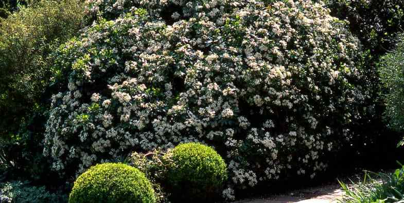 Choisya Pruning – The guide on how to prune & when