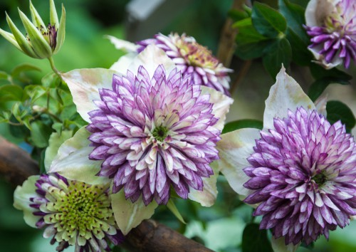 The clematis is well known as a deciduous vine but this particular variety is one that has some of the most uniquely beautiful flowers. When in full bloom you will enjoy 6 beautiful petals in the centre of which is a rich purple stamen with a green centre that draws the eye.
