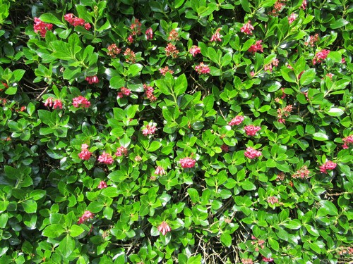 The apple blossom is a compact shrub that has dark green leaves growing along racemes. The Chalice shape it takes on lead way to pink and white flowers that are quite tiny, about 12 mm in which each. When grown it will produce green foliage all year round with the white and pink flowers come summer. It's very bushy and can reach up to 2.5 meters in height and spread at full maturity. Like most fast-growing shrubs, this will tolerate a wide range of environments.