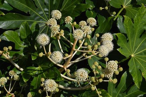 Pruning established Fatsia plants