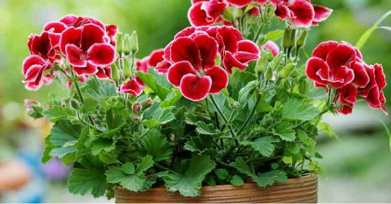 Growing geraniums – planting, care and helpful tips