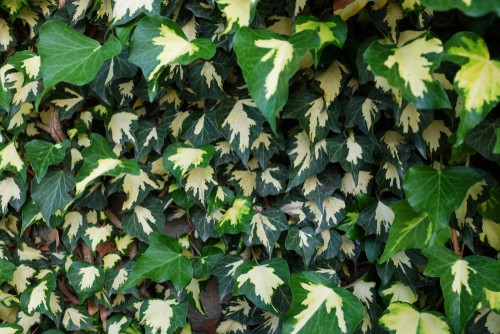 English ivy is a vigorous evergreen vine which can be used to provide ornamental ground cover or establish itself as a covering for brick walls or stone walls. If you are planting outside you need to make sure that this particular variety you plan to use is acceptable in your area simply because it is so invasive that in certain regions you might have to undergo considerations to keep it confined to your property.