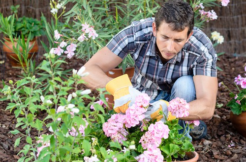 How to deadhead geraniums to keep the flowering