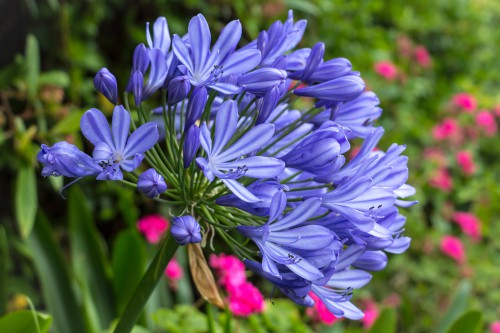How to divide agapanthus