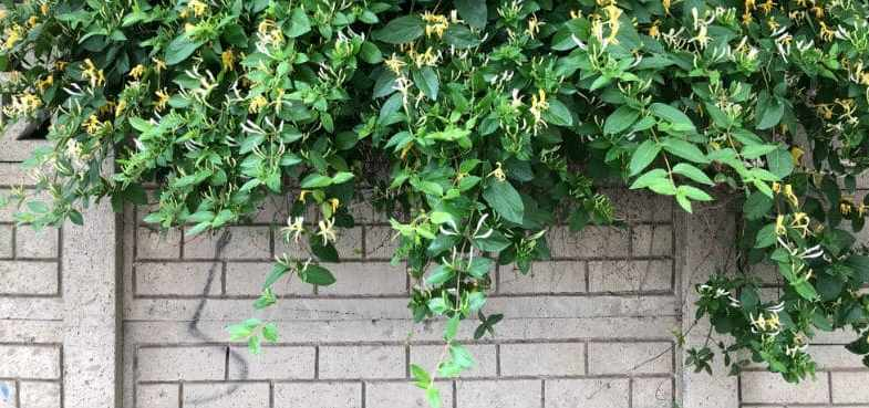 How to take cuttings from climbers