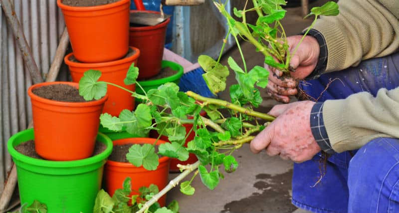 Taking cutting is an excellent way to get new plants or grow them over winter for summer. We look to take you through step by step how to take a Geranium cutting.
