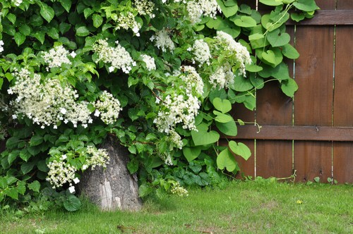 This hydrangea can help you take your love of hydrangeas to the next level. This particular climbing vine can grow up to 25m or more if allowed which makes it perfect for growing up and over structures that you have.