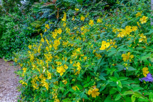 One of the most popular of plants for attracting Wildlife is commonly referred to as St John's Wort. It produces a collection of golden yellow flowers that get up to 5cm in diameter spanning from the summer into the autumn. When planted it will become dense which makes it great for a shrub border. It does well in dappled shade or partial shade so long as the soil is well-drained.