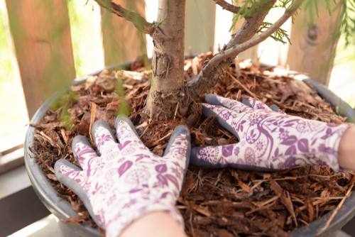When you first plant your conifer you want to mulch around the root ball. Mulching away from the trunk and around the root ball will help to keep the roots cool especially during the summer and can currently help keep them warm in the winter. Mulch also helps to improve moisture retention and prevent weed growth.