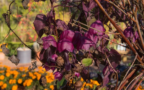 This purple bell vine gets its name from the exotic looking heart-shaped leaves and the fuchsia pendant flowers. They hang from tubular red and purple petal tubes which fall away after pollination giving your garden multiple levels of colour and texture. So popular are the combination of flowers and colours that this particular variety has received the award of garden marriage from The Royal Horticultural Society. Be aware of the fact that it will grow very fast and in the span of one season can reach up to 360 cm.