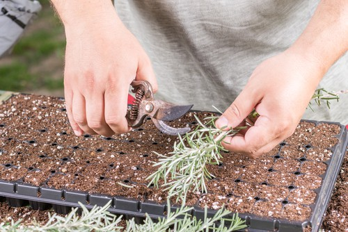 You can take a cutting which is probably the best way to propagate Rosemary and use that to propagate additional plants. This is much faster than growing from seeds as they take a very long to grow from seed.