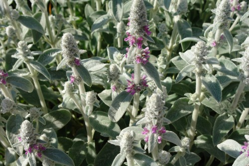 Lamb's Ear is a colourful form of ground cover that offers soft, greyish green leaves. It's known for its thick, velvety leaves in particular. In warmer climates the leaves are evergreen and they will spread rapidly to create a mat of leaves approximately 15cm off the ground.