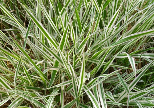 This plant is commonly called sedge. It blooms between April and July with insignificant flowers so the foliage is what everybody is talking about. Like all ornamental grasses, it is best known for its colourful leaves.