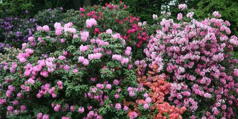 Growing Rhododendrons – Care guide and growing tips