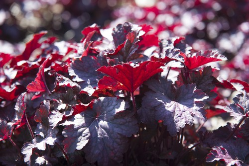 Heuchera Purple Palace perfect for growing in containers