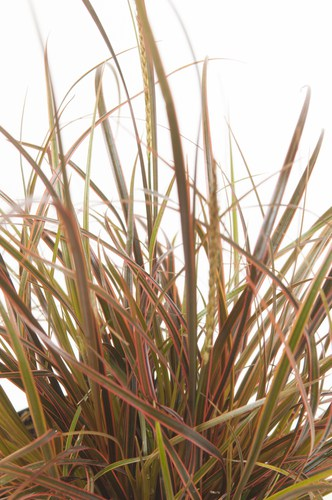 Known as the firedance, this compact sedge is a rich red, bronze colour and is absolutely stunning. If you are looking to add a splash of colour, this mound-shaped grass is it. The leaves have vertical accents of red along with the otherwise olive green leaves so it creates unique clumps that juxtapose other verdant plants or grasses you grow with it.