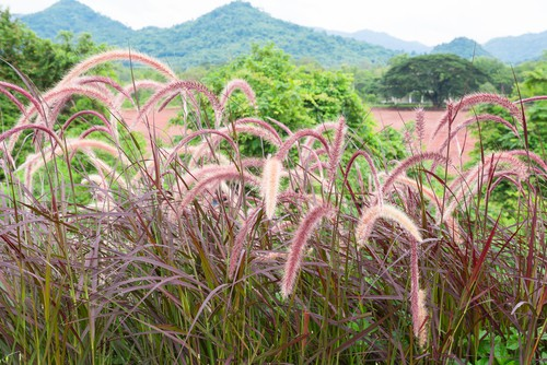 Given that there are so many types of ornamental grasses from which to choose you can truly find a variety for any position in your garden.