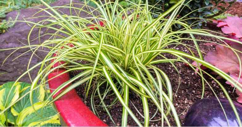 10 of the best grasses for pots
