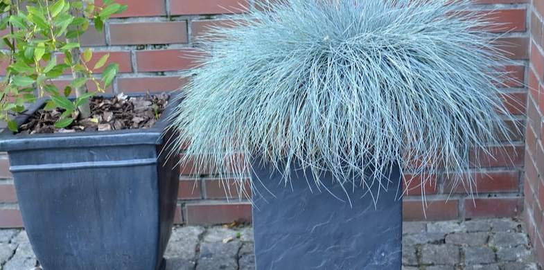 8 Must have evergreen grasses for containers and pots