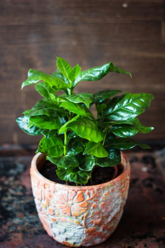 Arabica coffee plant for growing indoors