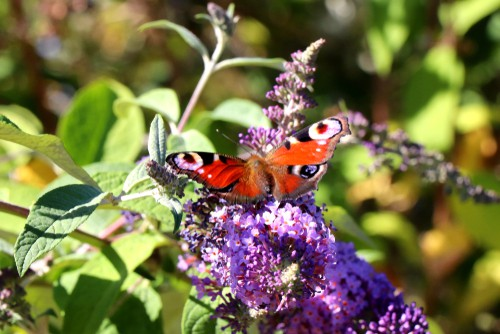 The buddleia also known as the butterfly bush gets its nickname because it is a beautiful, deciduous shrub whose masses of long, spiked blooms attract butterflies in their masses.