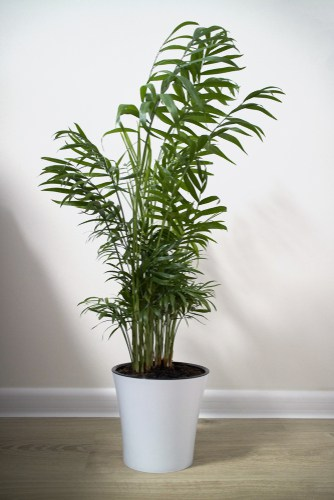 Chamaedorea Elegans needs shelter and partial shade so placing it near a window is helpful but it will grow in low light too.