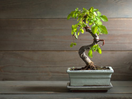 This Asian plant is known for its size when grown naturally in China, but at home, you can keep a smaller, trimmed plant that fits right in with the size of your space.
