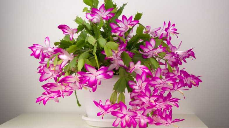 Christmas Cactus Pruning – overgrown and general trimming