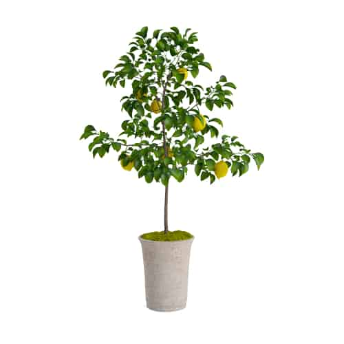 Citrus lemon trees are sure to brighten your home when they start to produce their perfect yellow fruit and they are so easy to grow and care for.