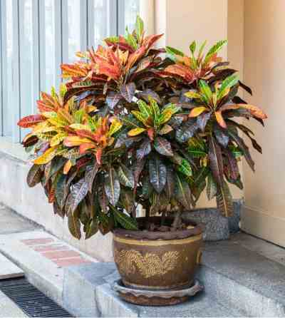 One way to really brighten your home is with colourful foliage. This Croton plant likes dappled light and humid temperatures, so you will need to work hard to recreate these natural environments indoors