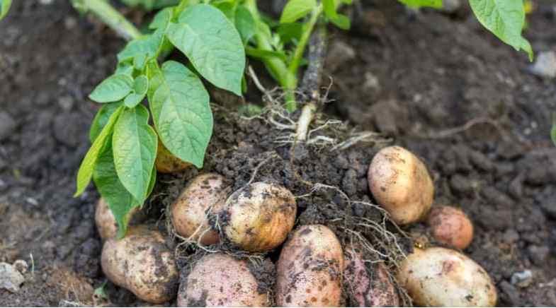 Growing Christmas Potatoes