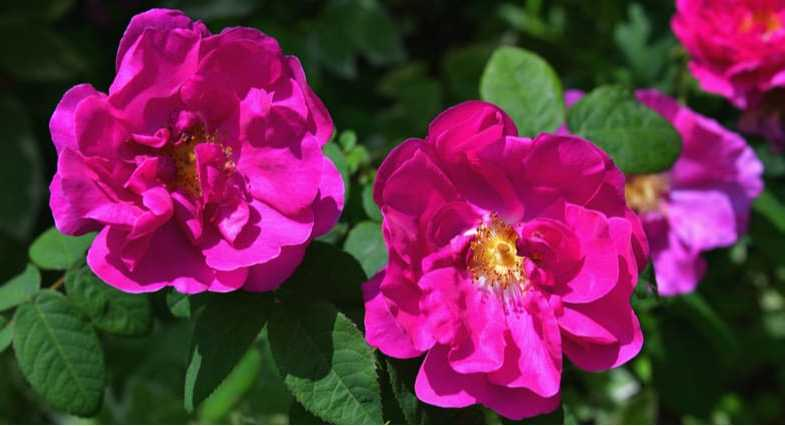 Growing Rosa Rugosa – Shrub Roses