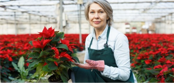 Growing poinsettias and care guide