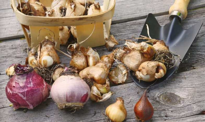 How to plant bulbs and a few very simple rules to follow