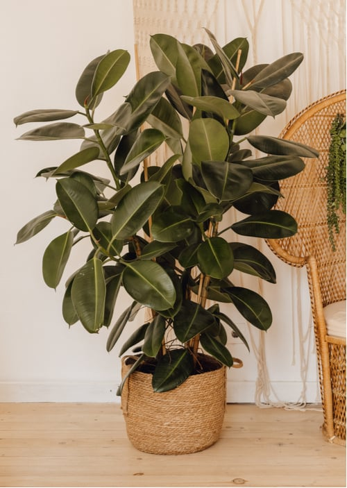 How to prune a rubber tree plant. Whether you are giving your rubber plant a serious overhaul or a simple trim, you can cut the plant to whatever style or size you want.