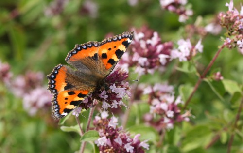 Marjoram is a aromatic herb is actually part of the mint family. The leaves are used in all manner of culinary and cosmetic purposes. It grows very effectively in partial sun to full sun as long as you have well-draining soil.