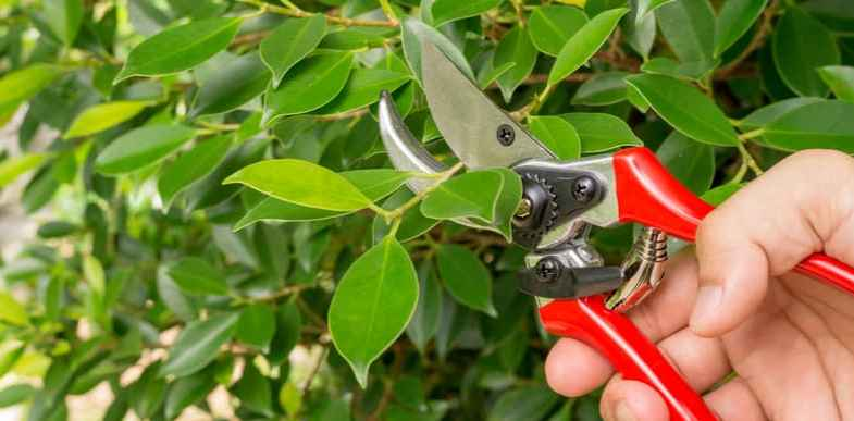 Pruning rubber plant trees