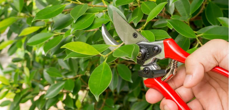 Pruning rubber plants it a good way to encourage fresh foliage, pruning is best done in late spring or early summer as they recover faster. Prune above a node and remove any dead branches.