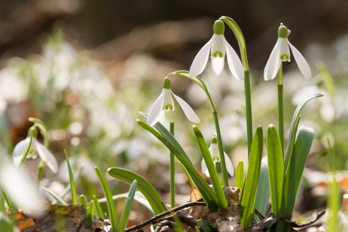 snowdrops for providing winter colour in containers