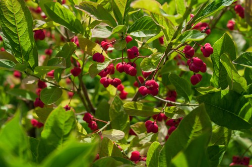 Euonymus europaeus (Spindel) is a flowering shrub that prefers to grow along the edge of forests, as a hedge, or along gentle slopes. It thrives in salt-poor or chalky soil so even if your garden has less than ideal conditions, you can still give birds a home.