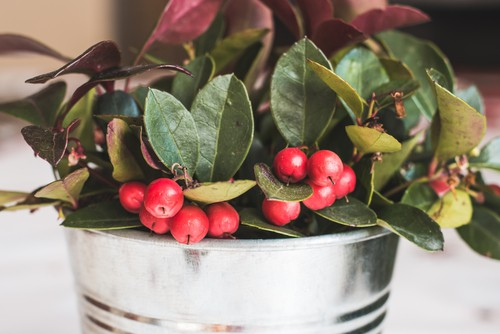 Gaultheria procumbens which is a small evergreen shrub with bright red berries in winter making it perfect for winter containers