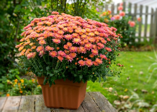 Growing chrysanthemums in pots. Grow in multipurpose compost or soil based compost and keep moist but not overwatered.
