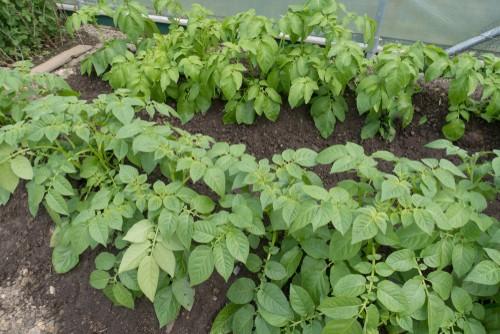 Growing Potatoes Indoors For Christmas