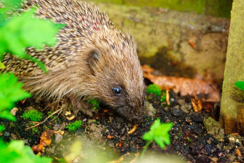 Hedgehog eating meal worms. Only feed hedgehogs small amounts of meal worms as they offer no benefit and can cause issues. Mix a few meal works along side other food such as cat food or biscuits.