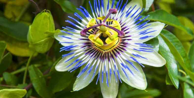 How to grow passion flowers – Passiflora Climbers