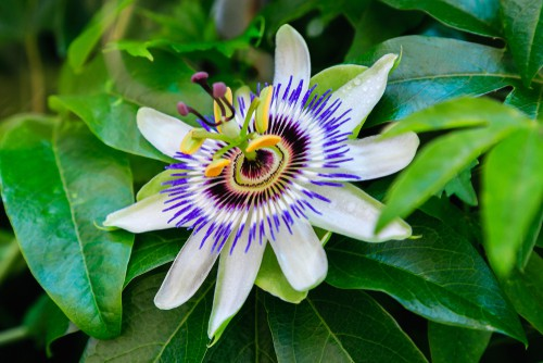 How to plant passion flowers