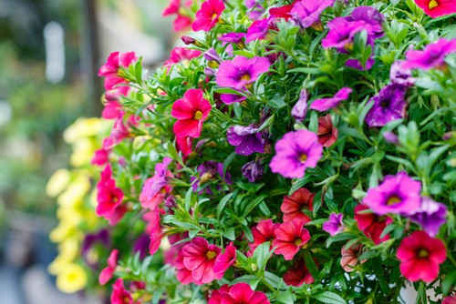 Calibrachoa (Million Bells) is very similar to surfinias but produces smaller, trumpet-shaped flowers all summer that is small but offset by the pale green leaves and work well in hanging baskets